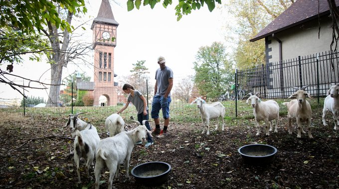 Drug users ruled Goebel Park until the goats took over. It was urban farmer Gus Wolf (pictured here with his daughter) who thought to introduce goats to graze on the overgrown bushes and vines that had hidden illicit activity. Today, they are a huge attraction for local families, reinvigorating the downtown space.